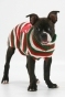 boston terrier wearing chritstmas sweater