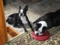 marty and georgette the boston terrier