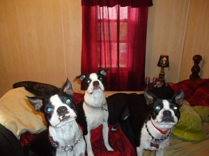 3 boston terriers