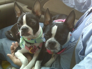 a pair of boston terriers