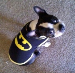 batman the boston terrier