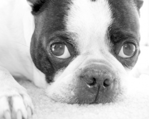 beau the boston terrier
