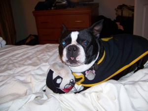 bernie the boston terrier with his toy