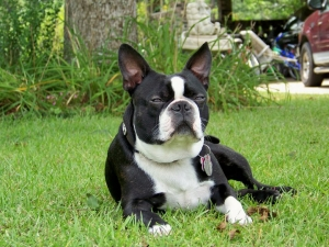 bernie the boston terrier