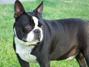 bernie the chubby boston terrier