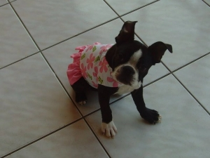 boston terrier dress