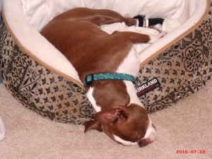 boston terrier in dog bed