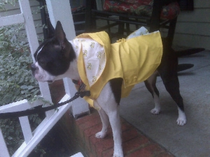 boston terrier in rain coat