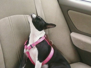 boston terrier in the car