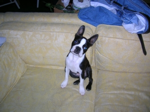 boston terrier on couch