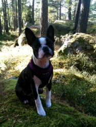 boston terrier on hiking trip
