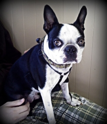 boston terrier profile