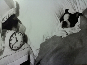 boston terrier sleeping cute