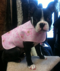 boston terrier wearing dress