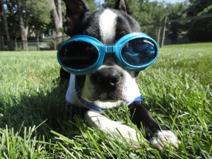 boston terrier with doggles
