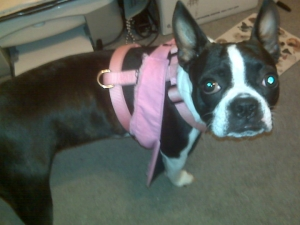 boston terrier with harness
