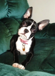 boston terrier with pink nails