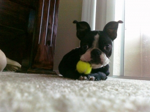 boston terrier with tennis ball