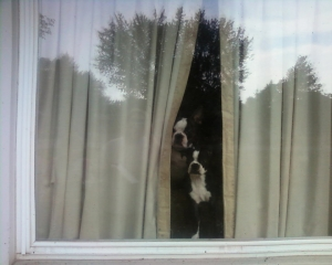 boston terriers in the window