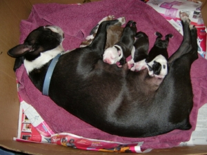 boston terriers nursing