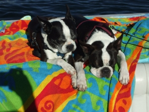 boston terriers on the boat