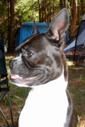 camping with boston terrier