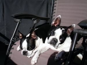 chase and beau sunning themselves