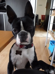 cheek the boston terrier