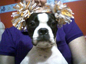 cheerleader boston terrier