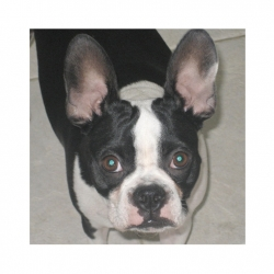 daisy the boston terrier