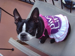 diva the boston terrier