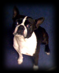 george the boston terrier