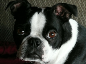 grace the boston terrier