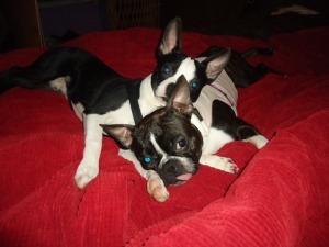 gracie and frankie boston terriers