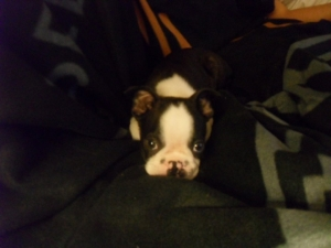 maxwell the boston terrier