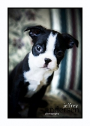ninja the boston terrier