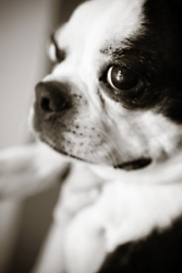 petey the boston terrier