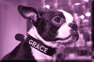 queen grace the boston terrier