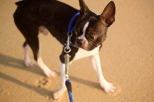 raul the boston terrier