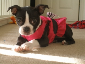 ruby the boston terrier in her dress
