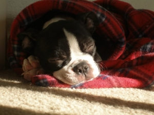 ruby the boston terrier sleeping