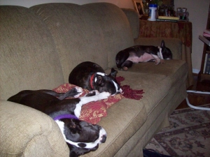 three bostons sleeping on the couch