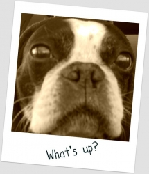 whats up Boston terrier