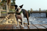 Boston Terrier By The Water