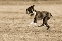 Boston Terrier In Action