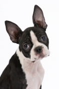 Boston Terrier With Perfect Ears!