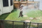 Boston terrier playing in hose