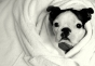 Boston Terrier In Towel