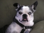 Old Boston Terrier