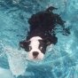 Boston terrier swimming